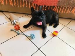 Bulldog Francês cobertura