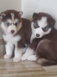 husky siberiano lindos filhotes entregamos em todo Brasil