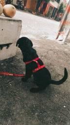 Labradora fêmea 2 meses