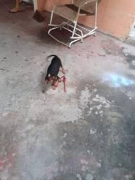 Cachorro pinch cofape