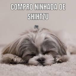 Título do anúncio: Ninhada de shih tzu shihtzu