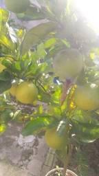 Pé de laranja pêra produzindo