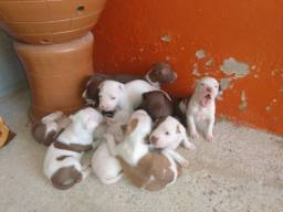 Vendo filhotes de Pitbull Red Nose ( leia o anúncio)