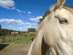 Cavalo Égua Prenha Garanhão Olhos Azul