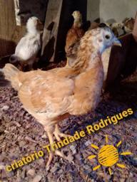 Galinhas frango e pintinhos