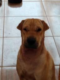 Adoção ,cadela mistura de Sharpei
