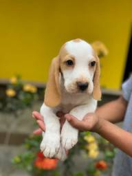 Beagle Pedigree na Hora da Entrega Imediata