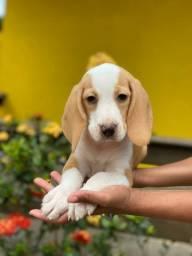 Seu filhote lindo Beagle Aqui!!!Totalmente Documentado.