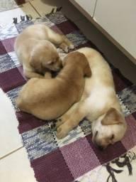 Filhotes de labrador - Apenas Fêmeas