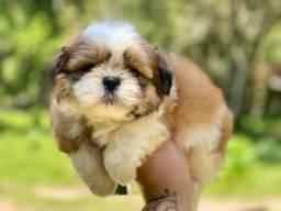 Baby pequeninos lindos shih tzu mini pedigree