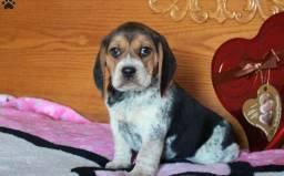 Beagle filhotes lindos adquire já o seu!