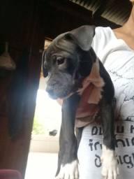 FILHOTE  fêmea de pitbull disponíveis
