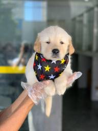 Golden Retriever, quer saber mais? (11)3565-1269