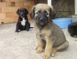 Labrador x rottweiler 130