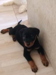Filhote Macho de Rottweiler