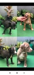 Pitbull filhotes puros 1 mês e 20 dias