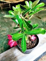 Vendo mudas rosa do deserto c/flor