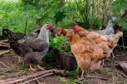 Estou doando 10 galinha caipira!