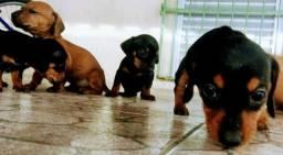 Em Mossoró Filhote macho de Salsichinha dachshund entrego vermifugado