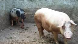 Porco adulto