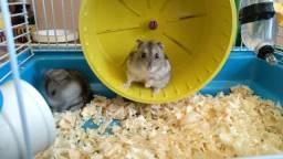 2 Hamsters Anões Russos