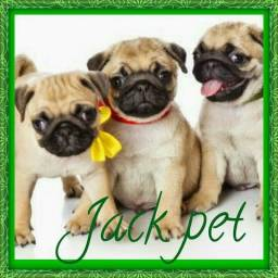 Pug No Jack Pet! comm vacina e chip