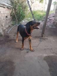 Vendo cachorro da raça Rottweiler fêmea 5 mês