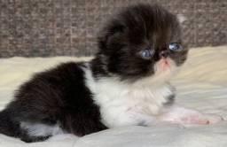 Lindo Show de Gato persa macho filhote bicolor extremado P/ Reserva .super lindo