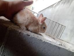 Coelhinhos anão disponível