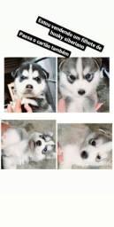 Disponíveis filhotes de husky siberiano