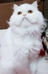 Quero adotar um gato persa macho.