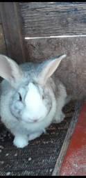 Casal de coelhos gigantes