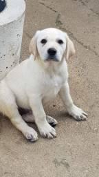 Excelentes Filhotes de Labrador