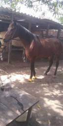 Égua de direita