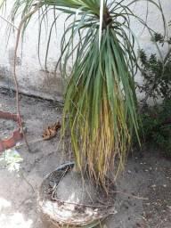 Planta ' Pata de Elefante ' sem o jarro