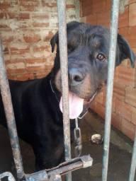 Doação de um Rottweiler puro