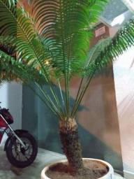 Arbusto Cica Completa