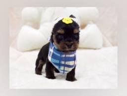 Filhote de yorkshire mini macho à pronta entrega! #Namu Royal Pet shop#