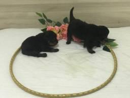Filhote de rottweiler pedigrees