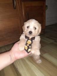 Vende-se filhote poodle 2