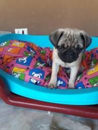 Vendo urgente Filhote Pug