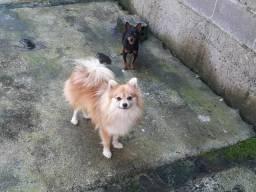 Lulu adulta 1 ano e 2 mês