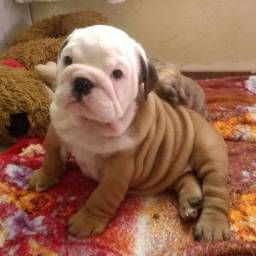 Bulldog inglês - excelente pedigree