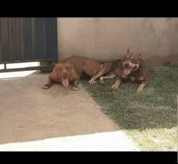 Filhotes disponivel pit bull terrier