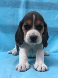 Beagle tricolor um bom amigo