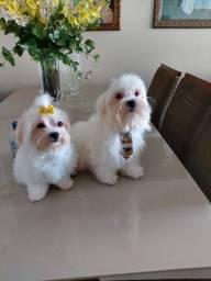 Cachorro raça Maltes