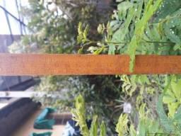 Mudas de esponjinha ( calliandra )