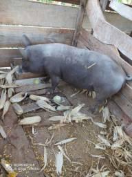 Vendo 2 porcas e 1 cachaço
