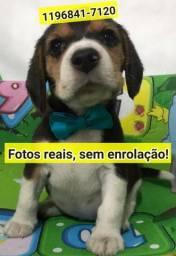 Só aqui anuncio com fotos reais dos filhotes de Beagle tricolor machos e fêmeas.
