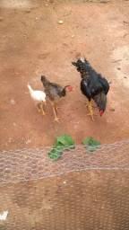 Golo índio puro e galinha pura.